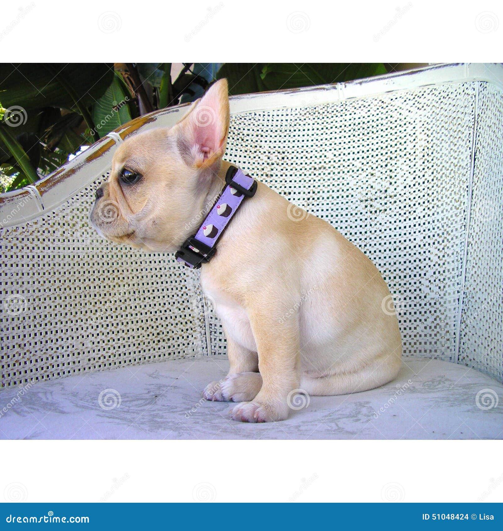 Cucciolo del bulldog francese in una sedia francese del paese