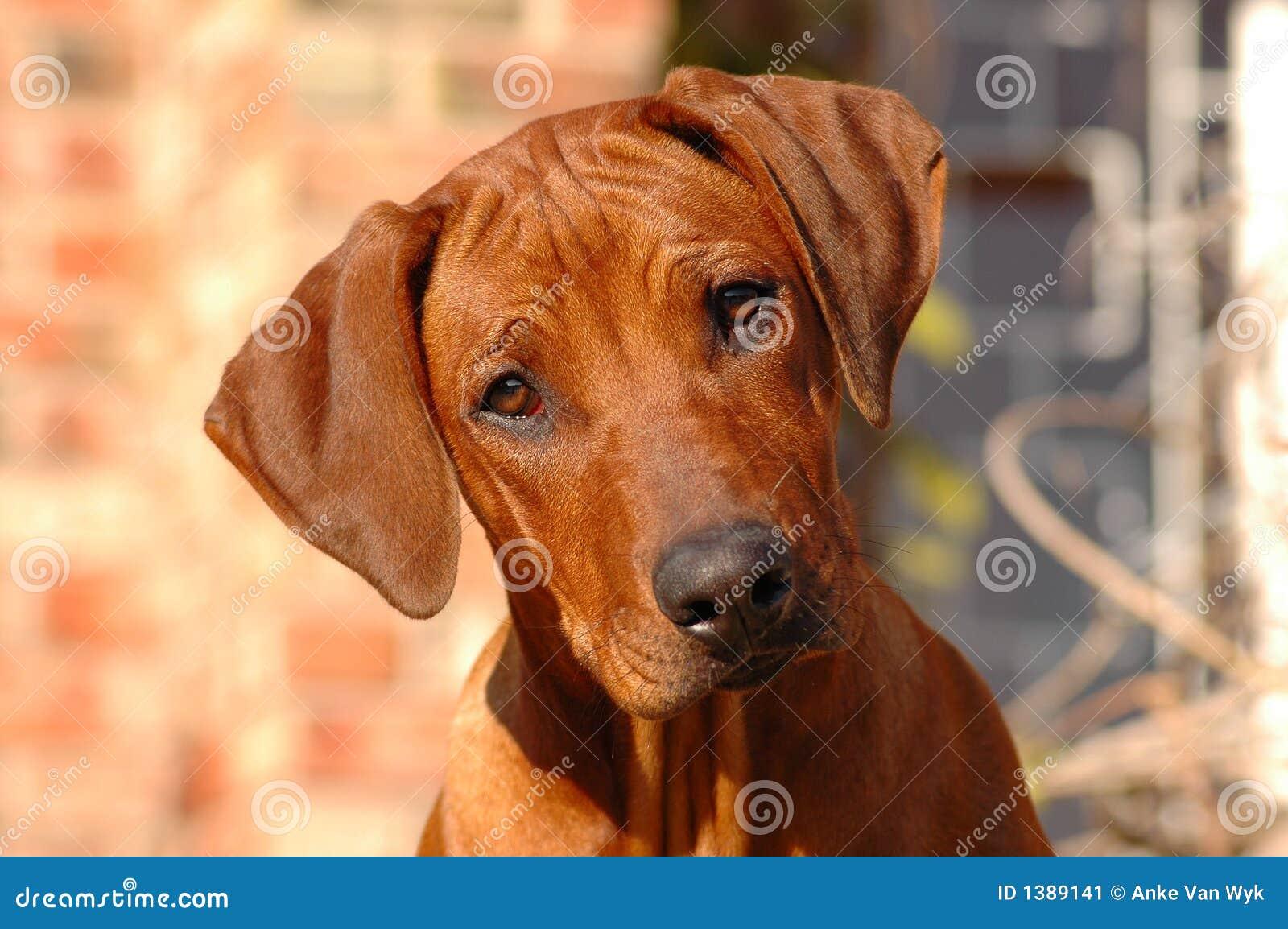 Cucciolo del cane
