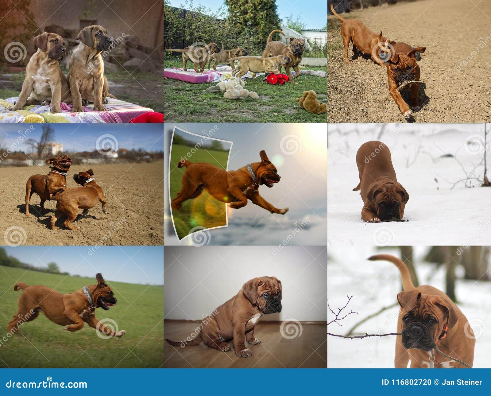 Cucciolo del cane del Bordeaux - mastino francese - raccolta della foto