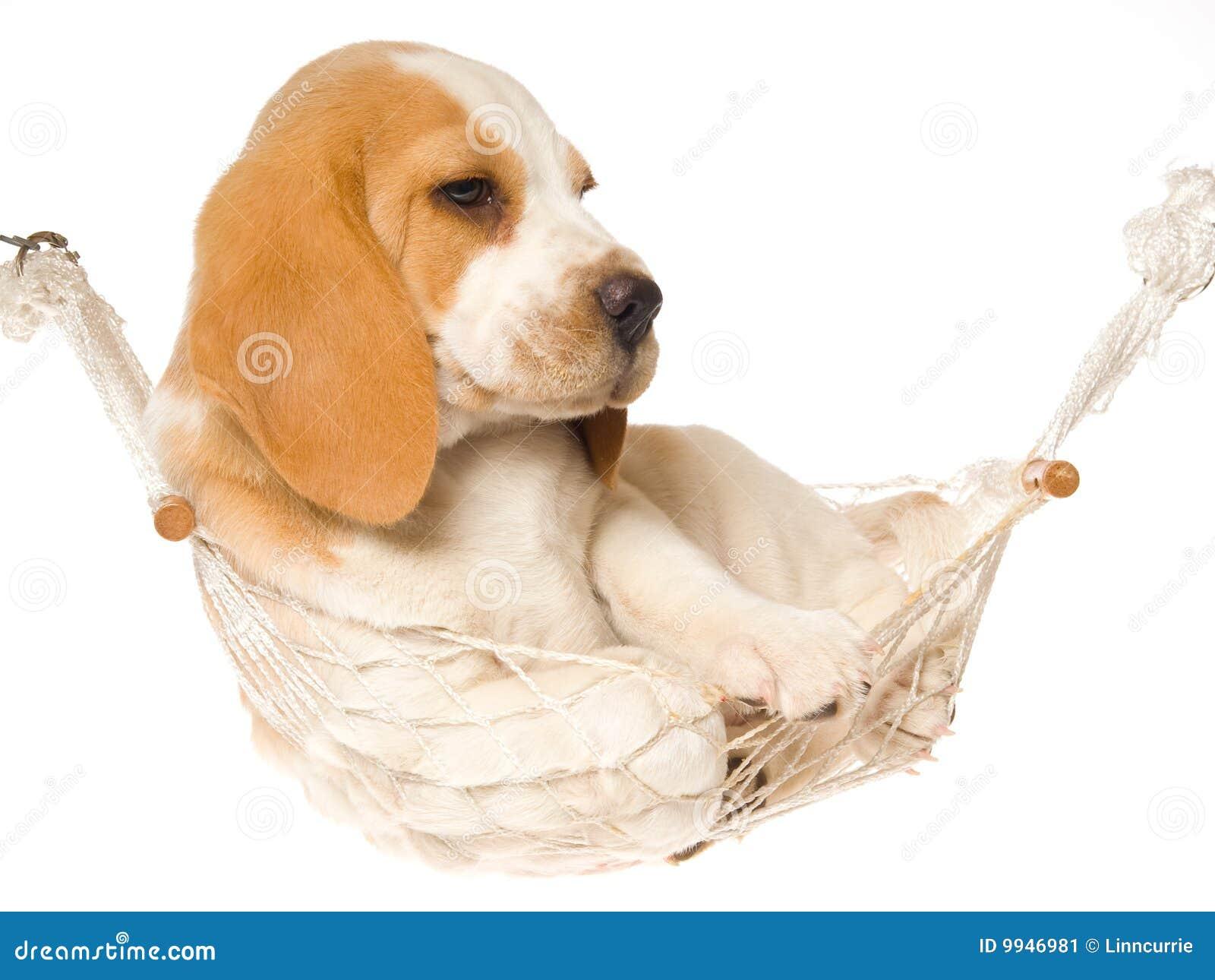 Cucciolo del cane da lepre che si trova in hammock bianco