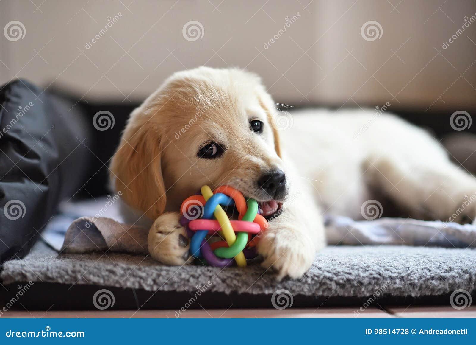 Cucciolo del cane di golden retriever che gioca con il giocattolo