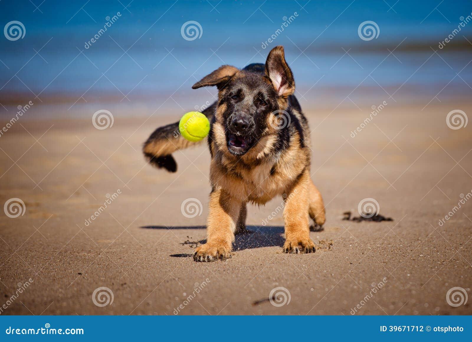 Cucciolo Del Pastore Tedesco Sulla Spiaggia Fotografia Stock