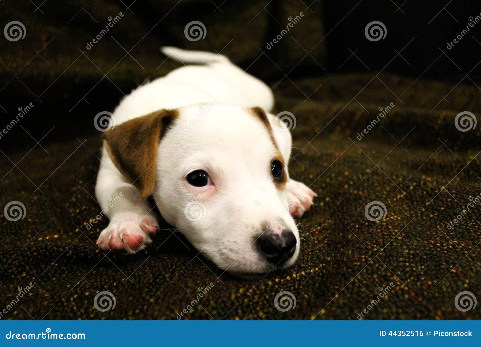 Cucciolo del Terrier del Jack Russel