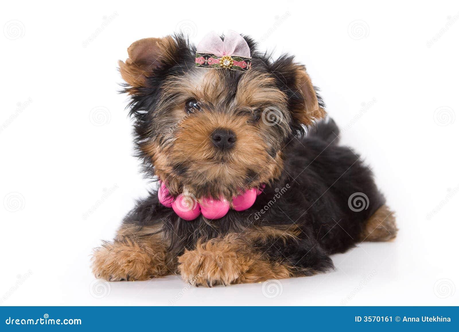 Cucciolo del Terrier di Yorkshire (York)