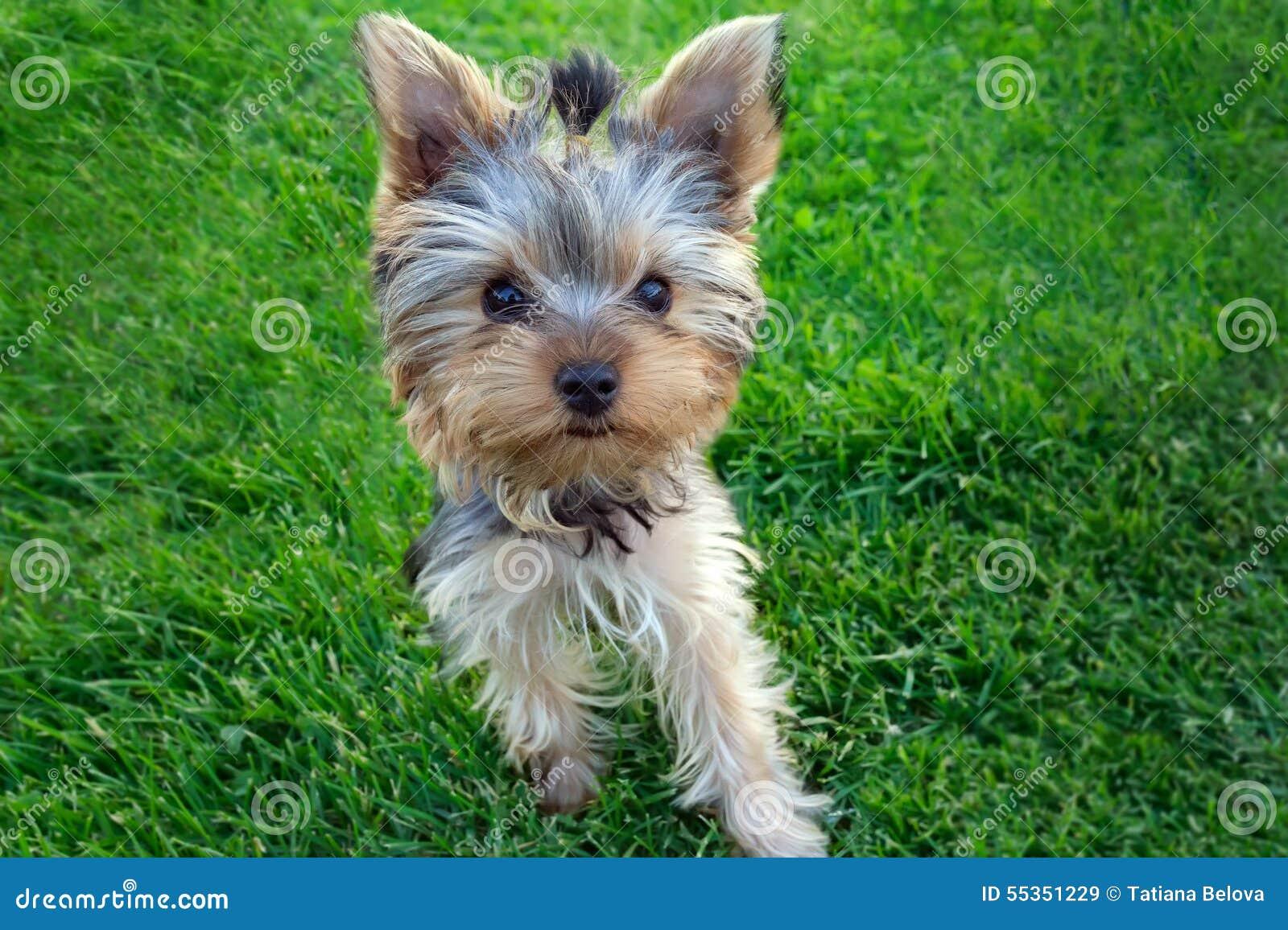 Cucciolo dell Yorkshire terrier in erba