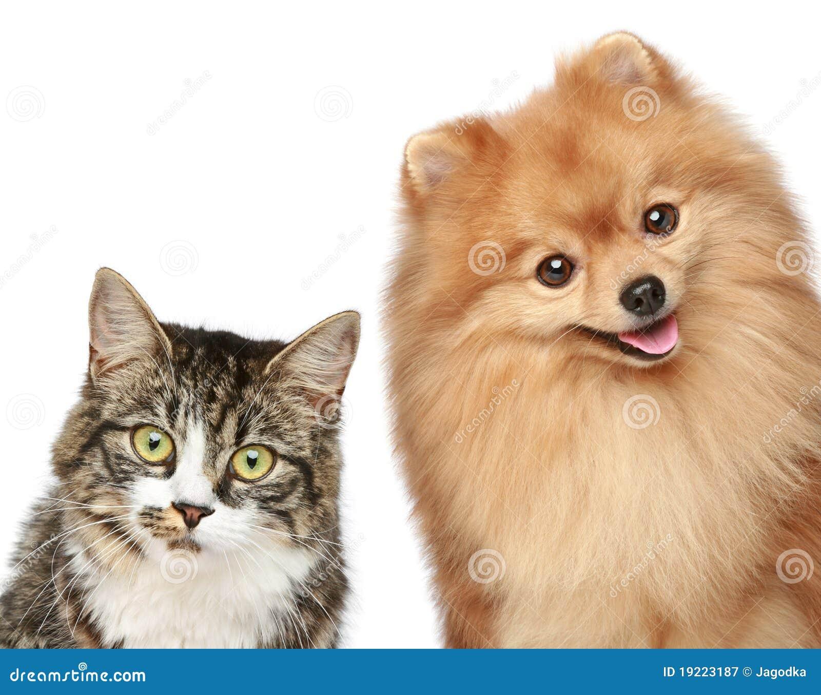 Cucciolo dello Spitz e del gatto