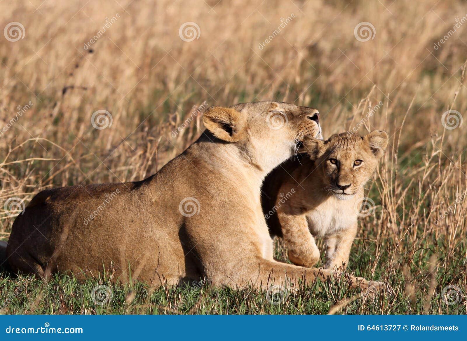 Cucciolo di amori del leone