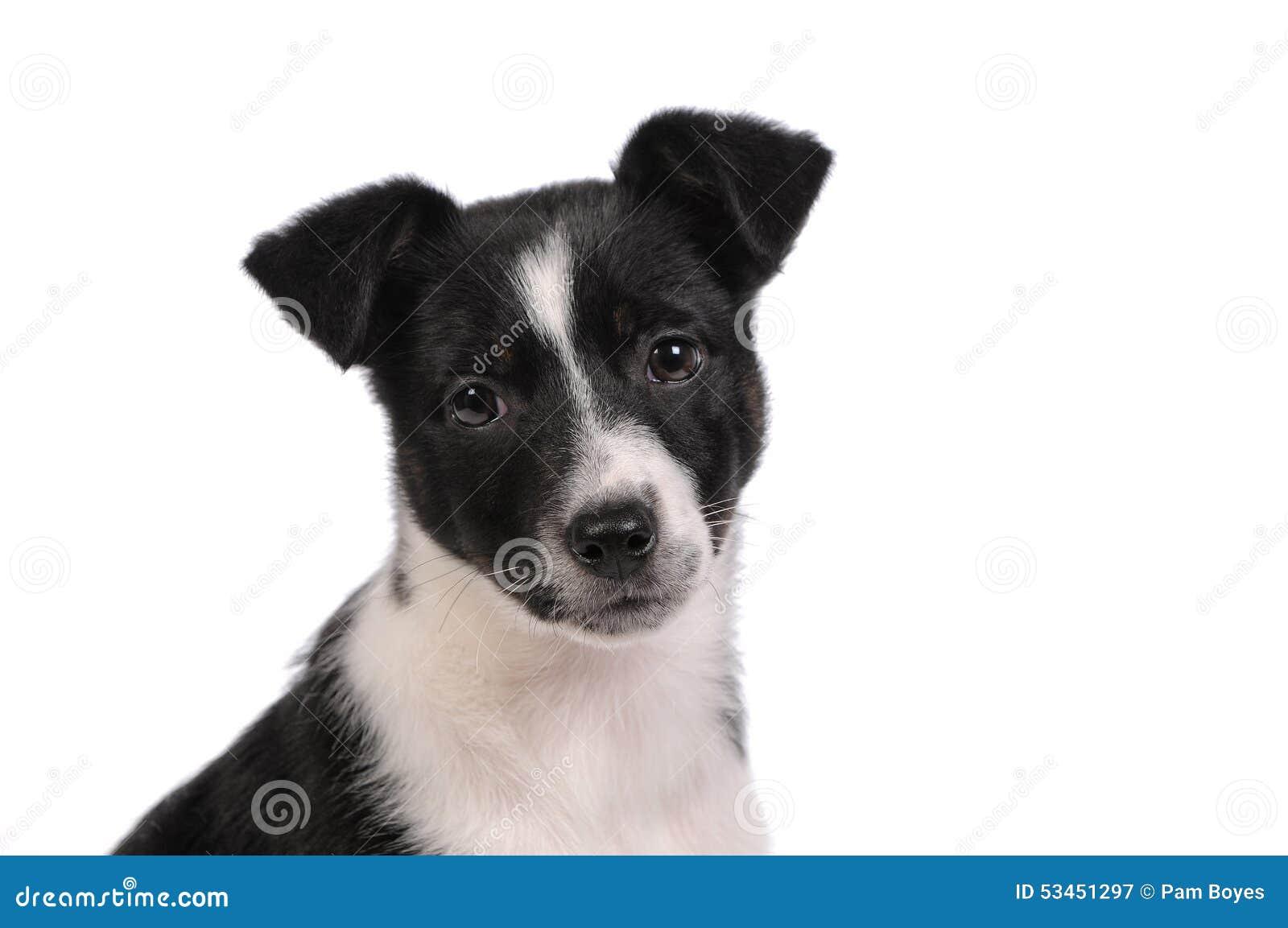 Cucciolo di cane in bianco e nero immagine stock - Tappeto bianco e nero ...