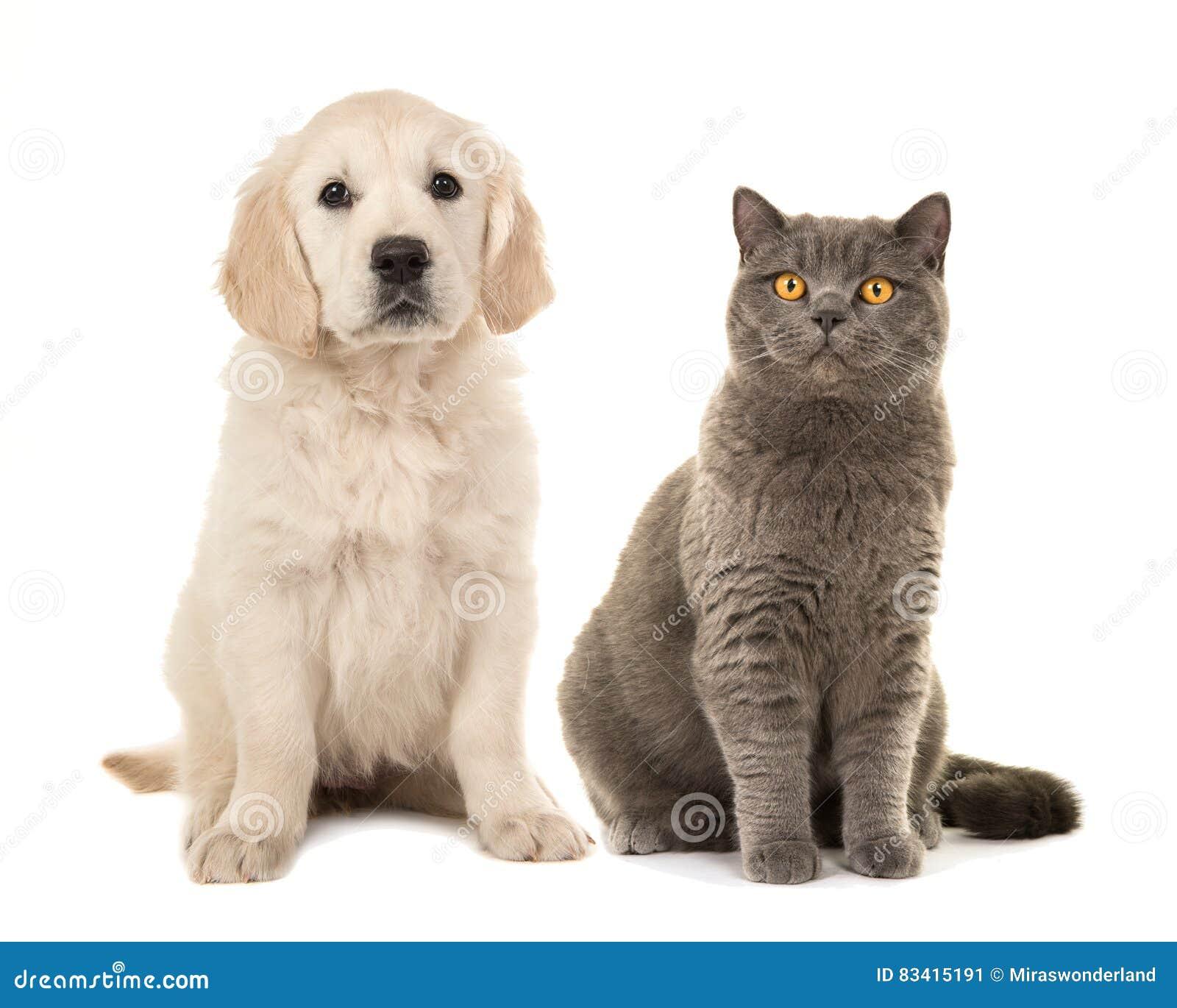 Cucciolo di cane biondo di golden retriever e gatto britannico grigio dei  peli di scarsità