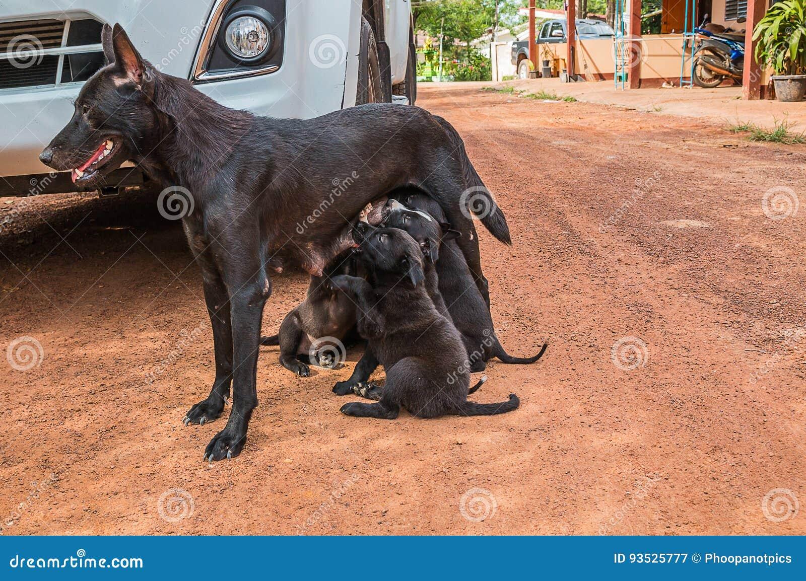 Cucciolo Di Cane Che Mangia Latte Materno Immagine Stock Immagine