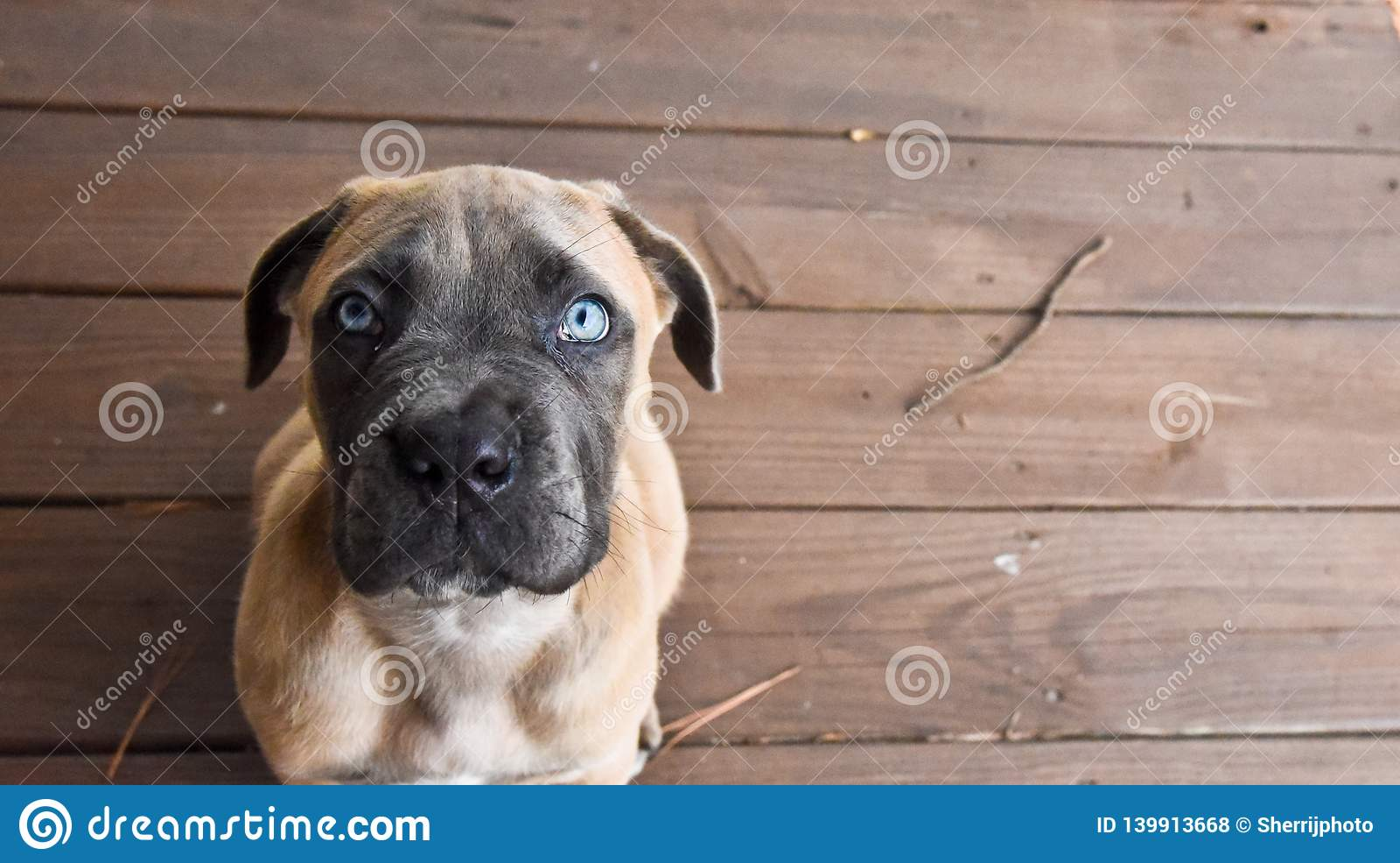Cucciolo di Cane Corso che cerca con gli occhi azzurri