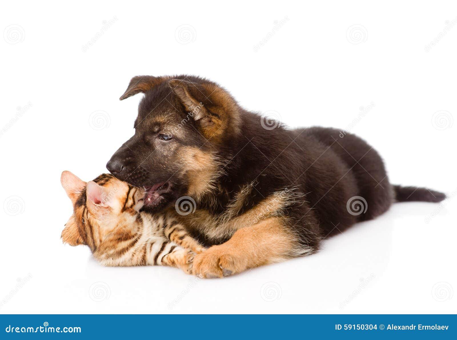 Cucciolo Di Cane Del Pastore Tedesco Che Morde Il Gatto Del Bengala