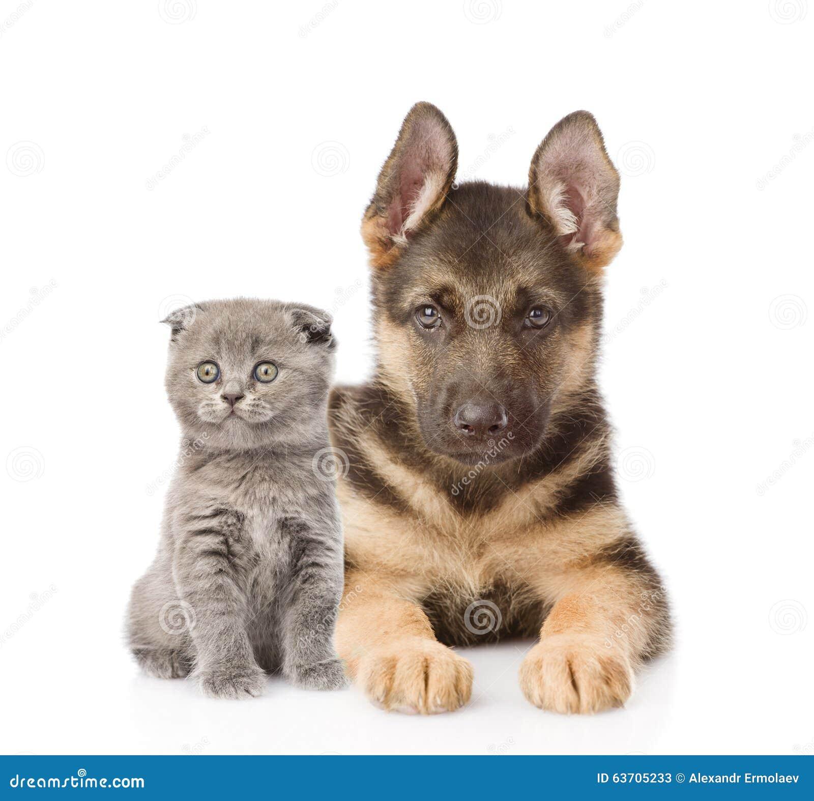 Cucciolo Di Cane Del Pastore Tedesco E Del Piccolo Gatto Scozzese