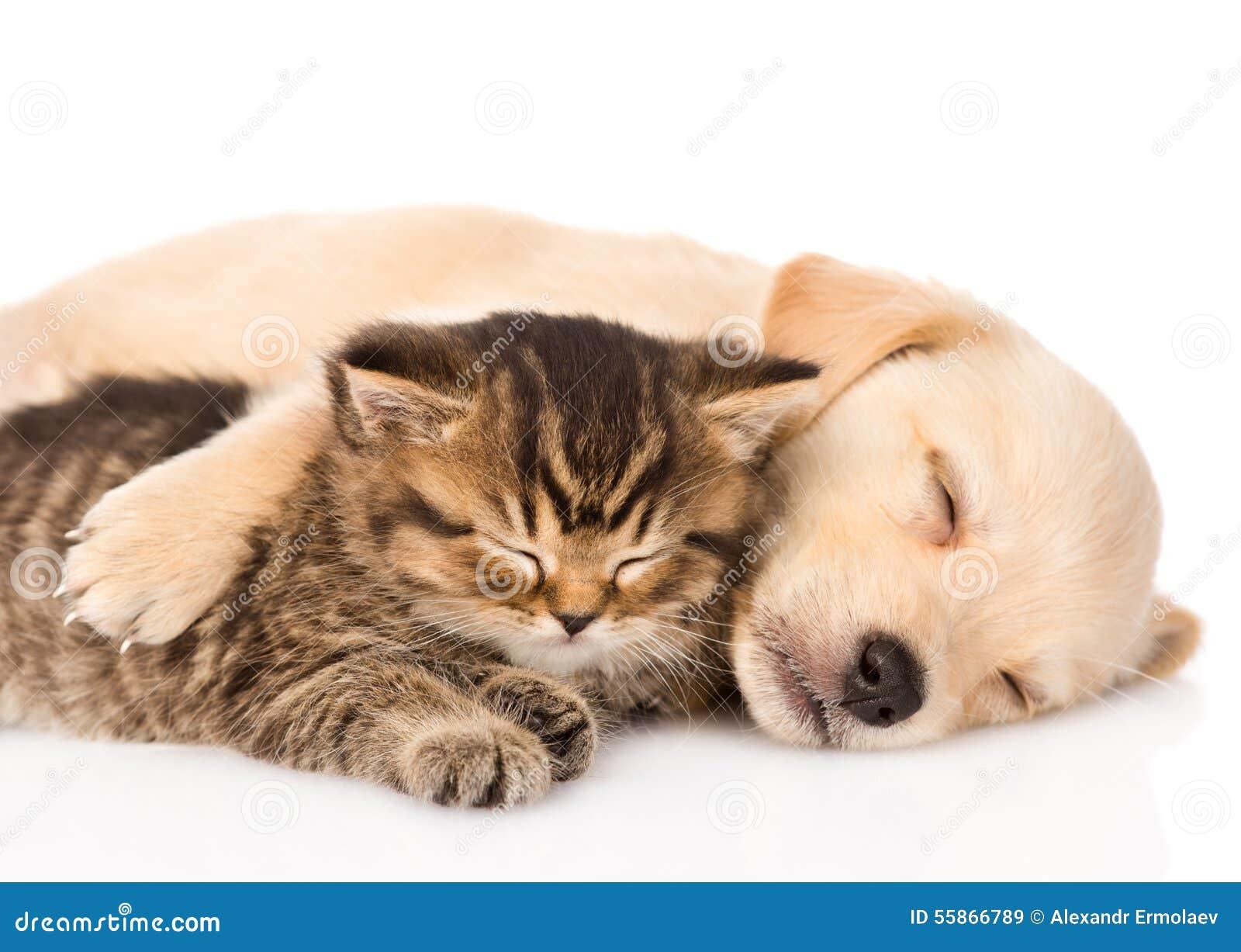 Cucciolo di cane di golden retriever e gatto britannico che dormono insieme  Isolato