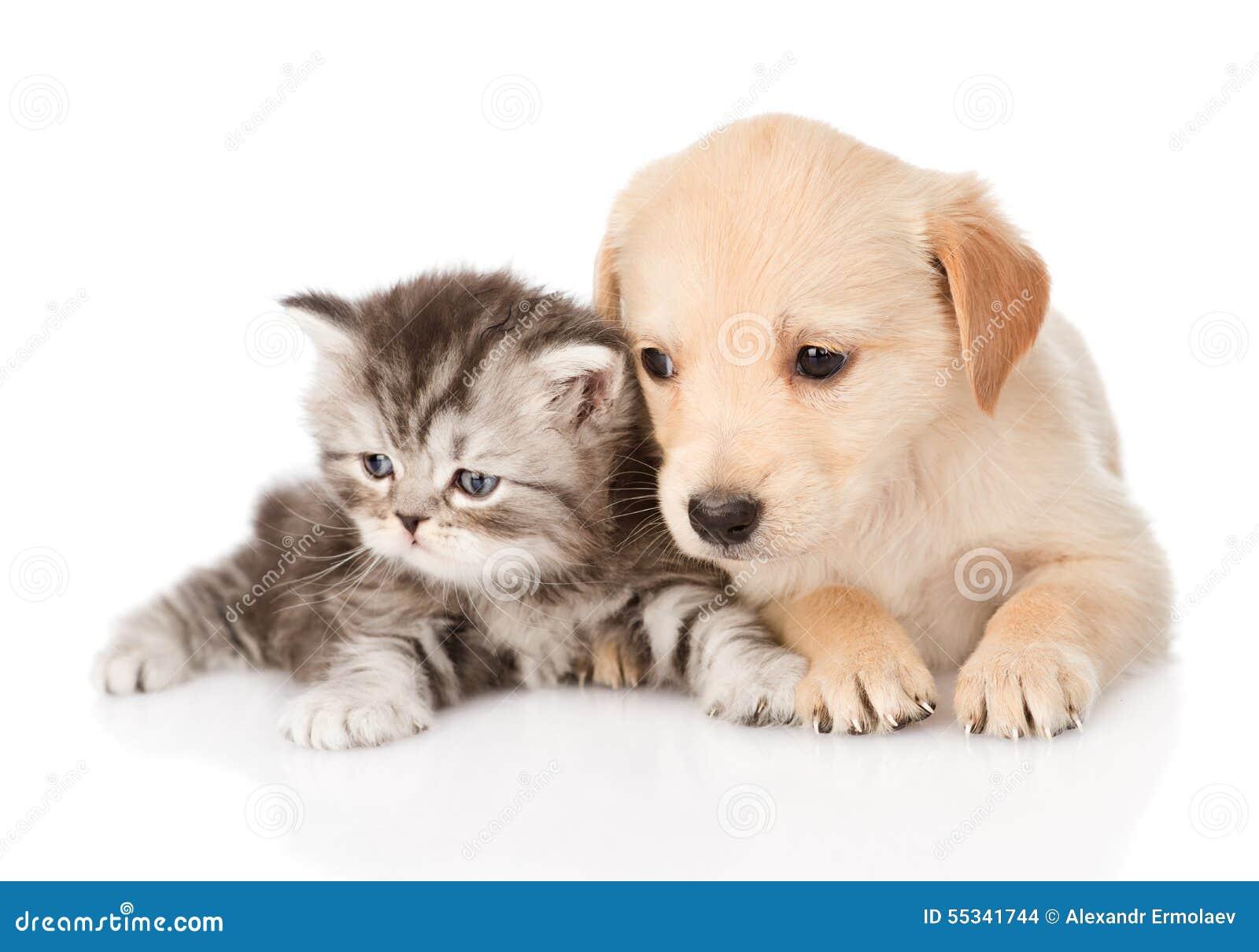 Ben noto Cucciolo Di Cane Di Golden Retriever E Gatto Di Soriano Britannico  VL99