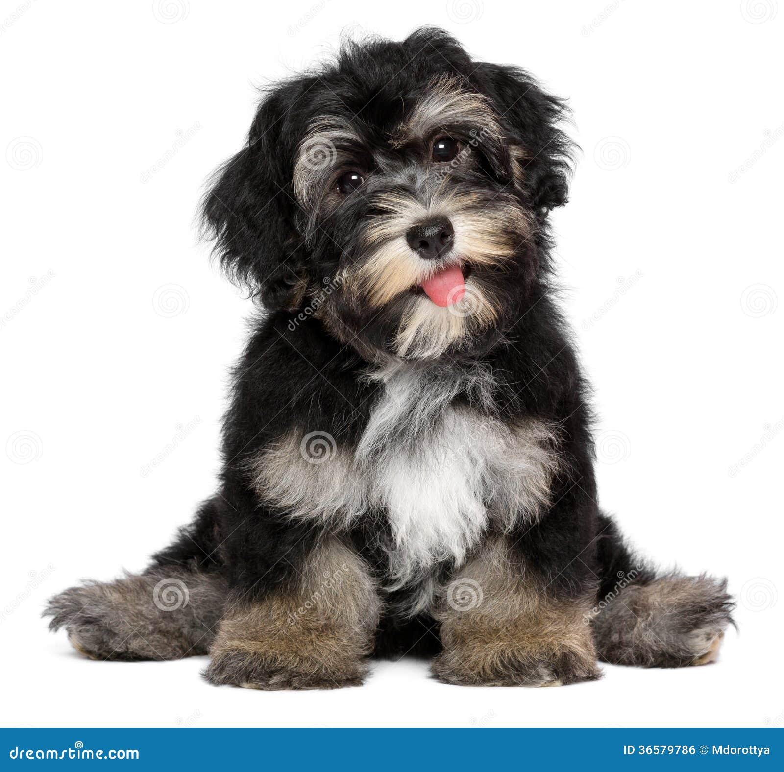 Cucciolo Di Cane Havanese Sorridente Divertente Di