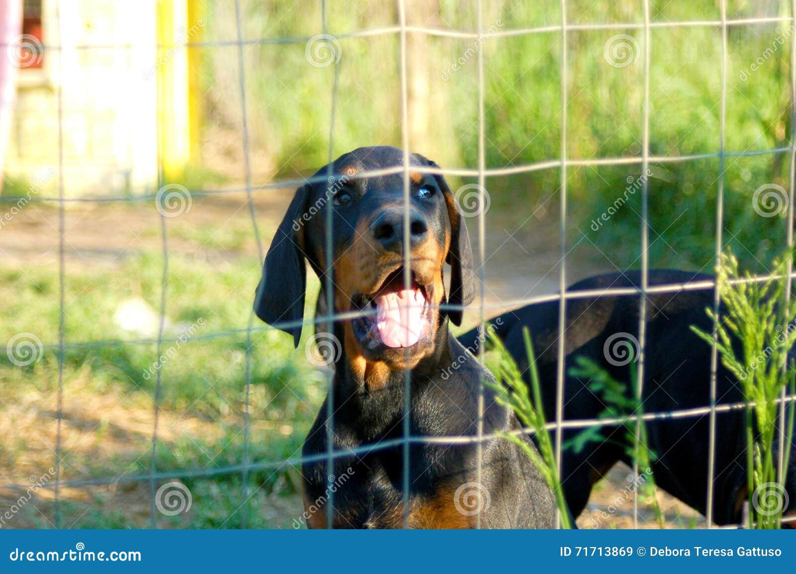Cucciolo di Dobermann dietro il recinto