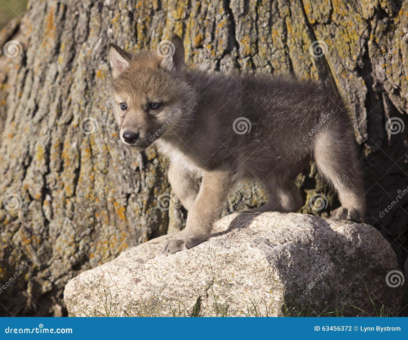 spesso Cucciolo di lupo foto stock - Iscriviti Gratis XN94