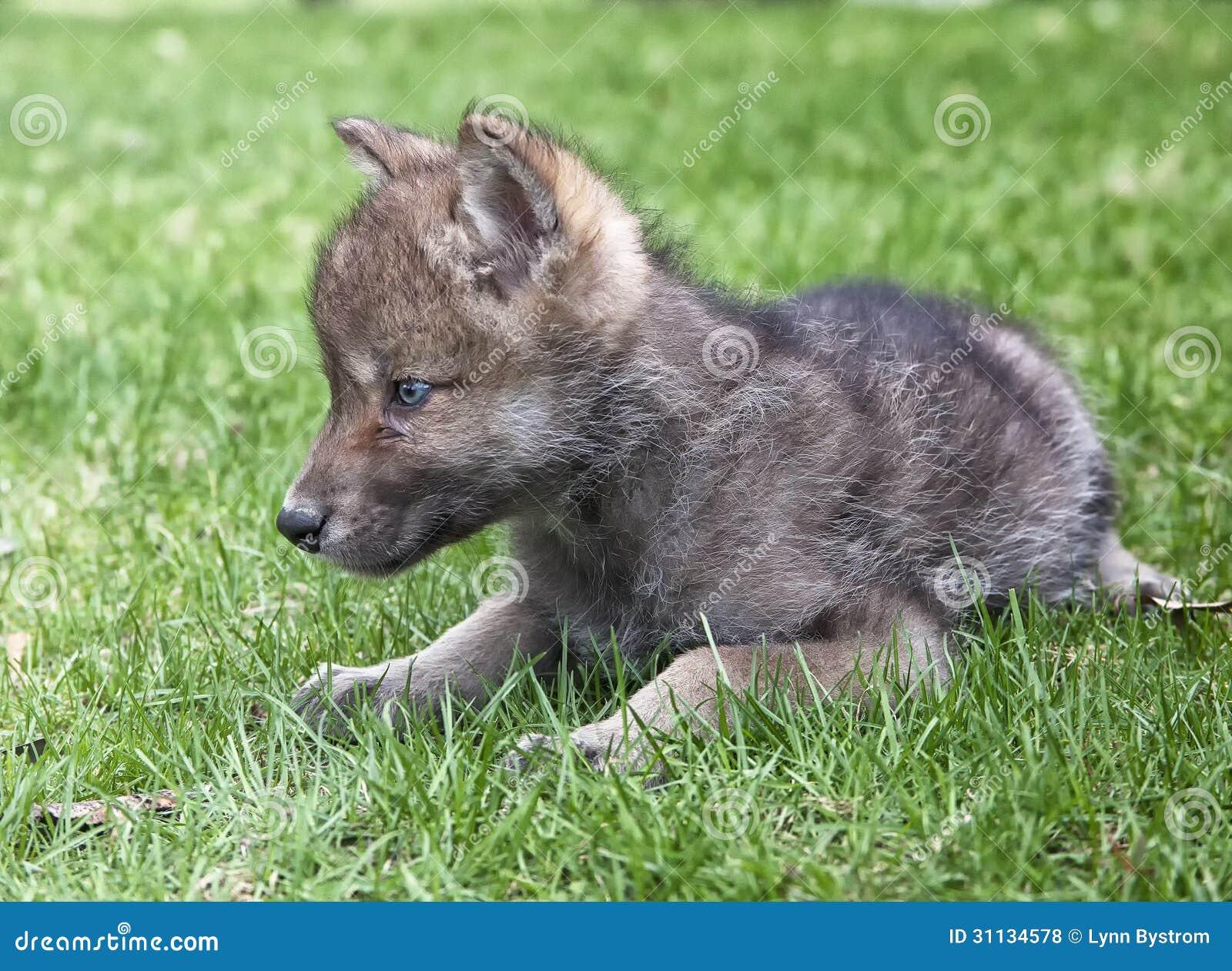Popolare Cucciolo di lupo grigio fotografia stock. Immagine di molla - 31134578 YN71