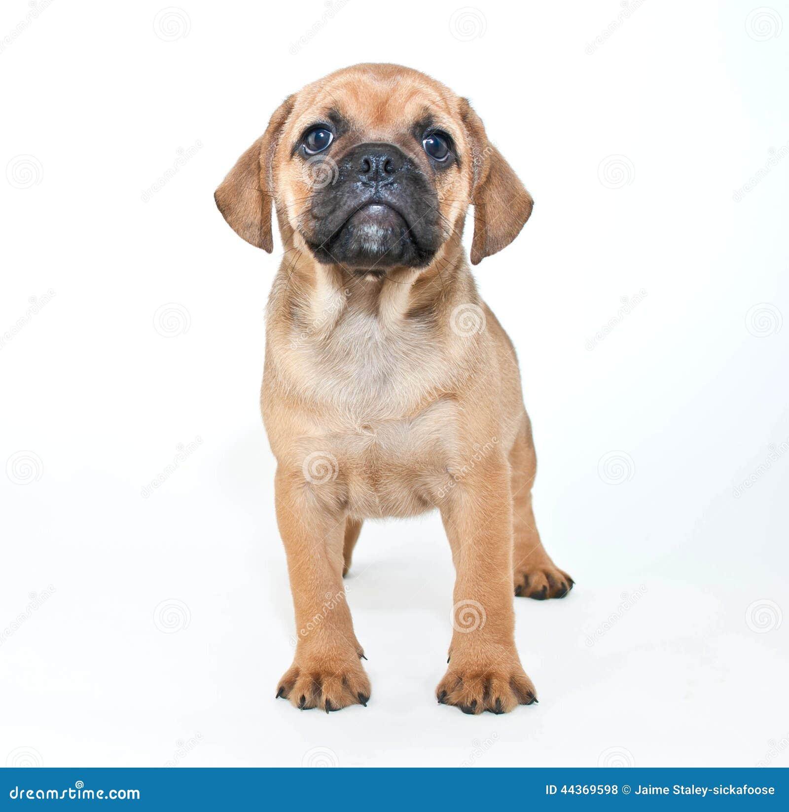Cucciolo di Puggle