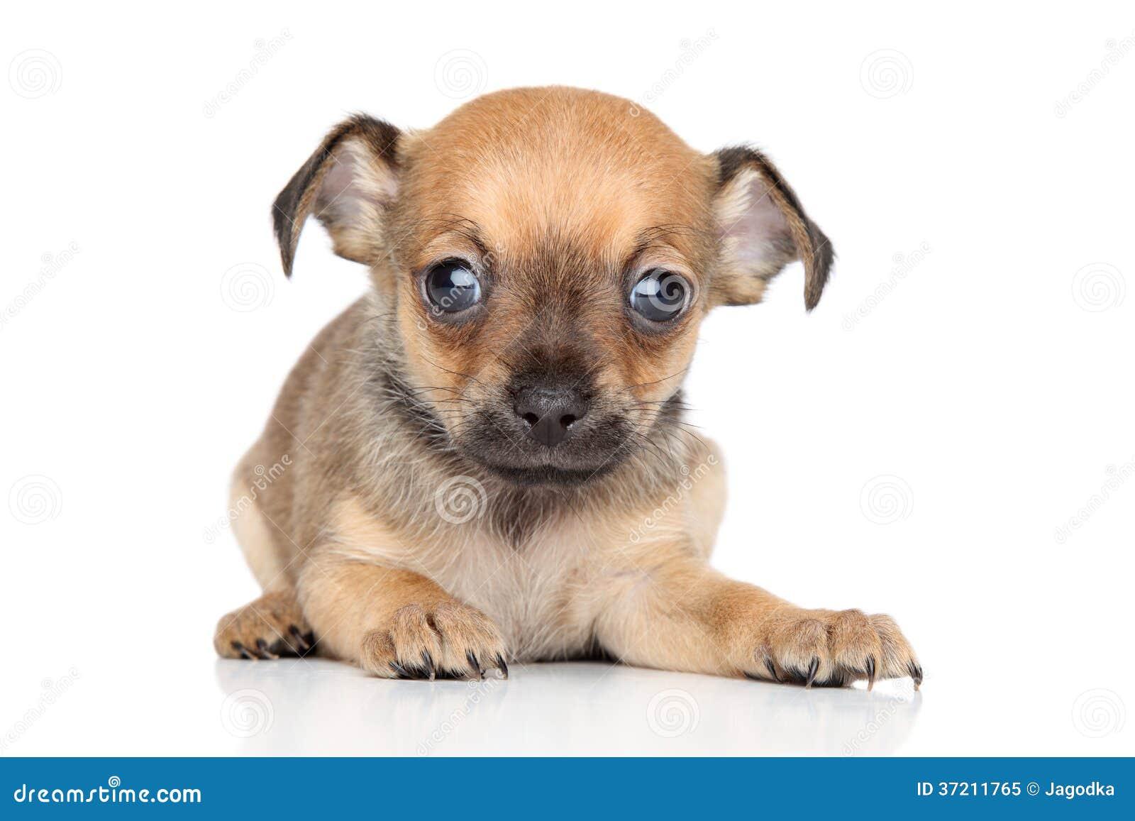 Cucciolo Di Razza Mista Di Toy Terrier E Della Chihuahua Immagine