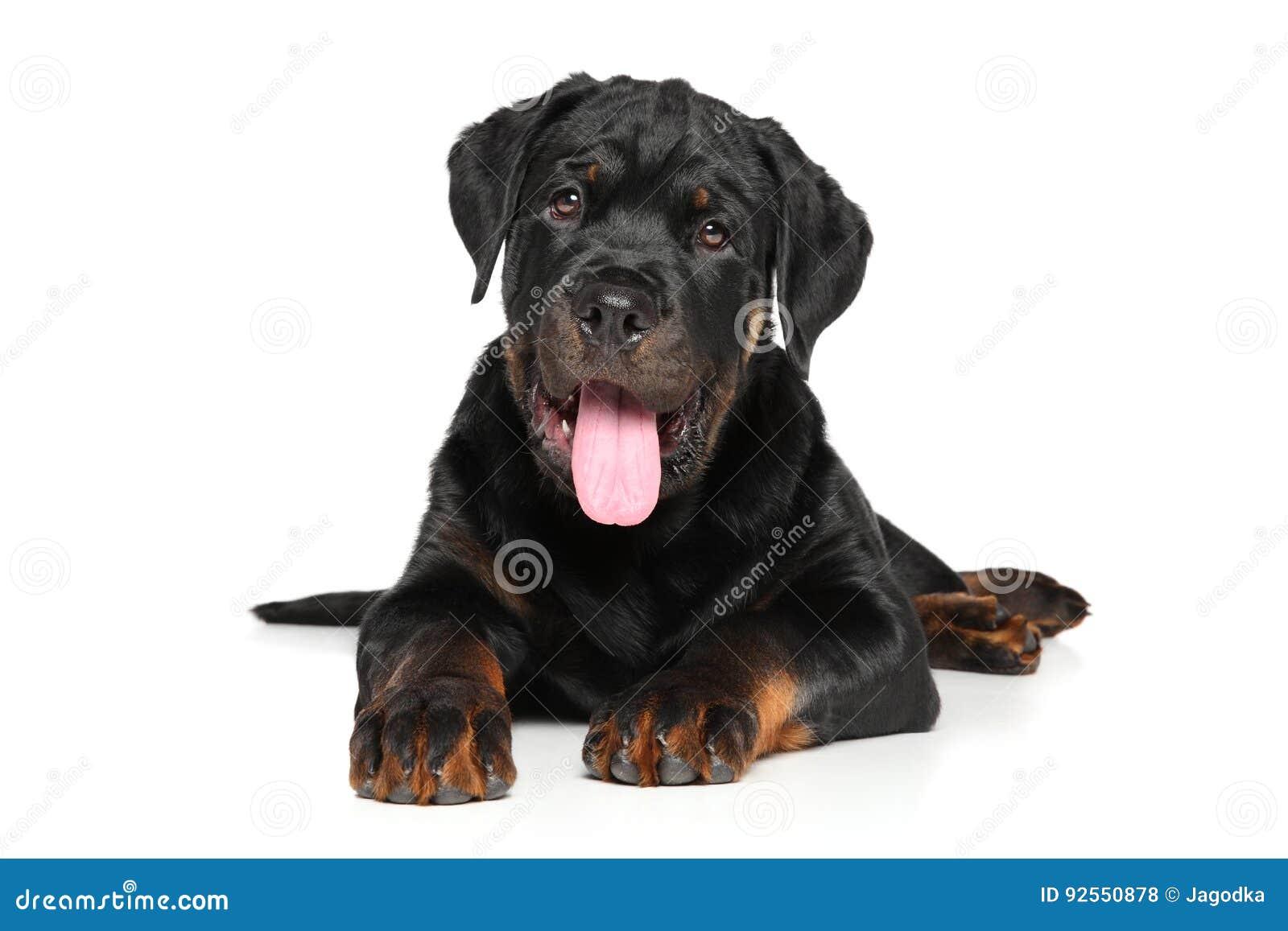 Cucciolo di Rottweiler su fondo bianco