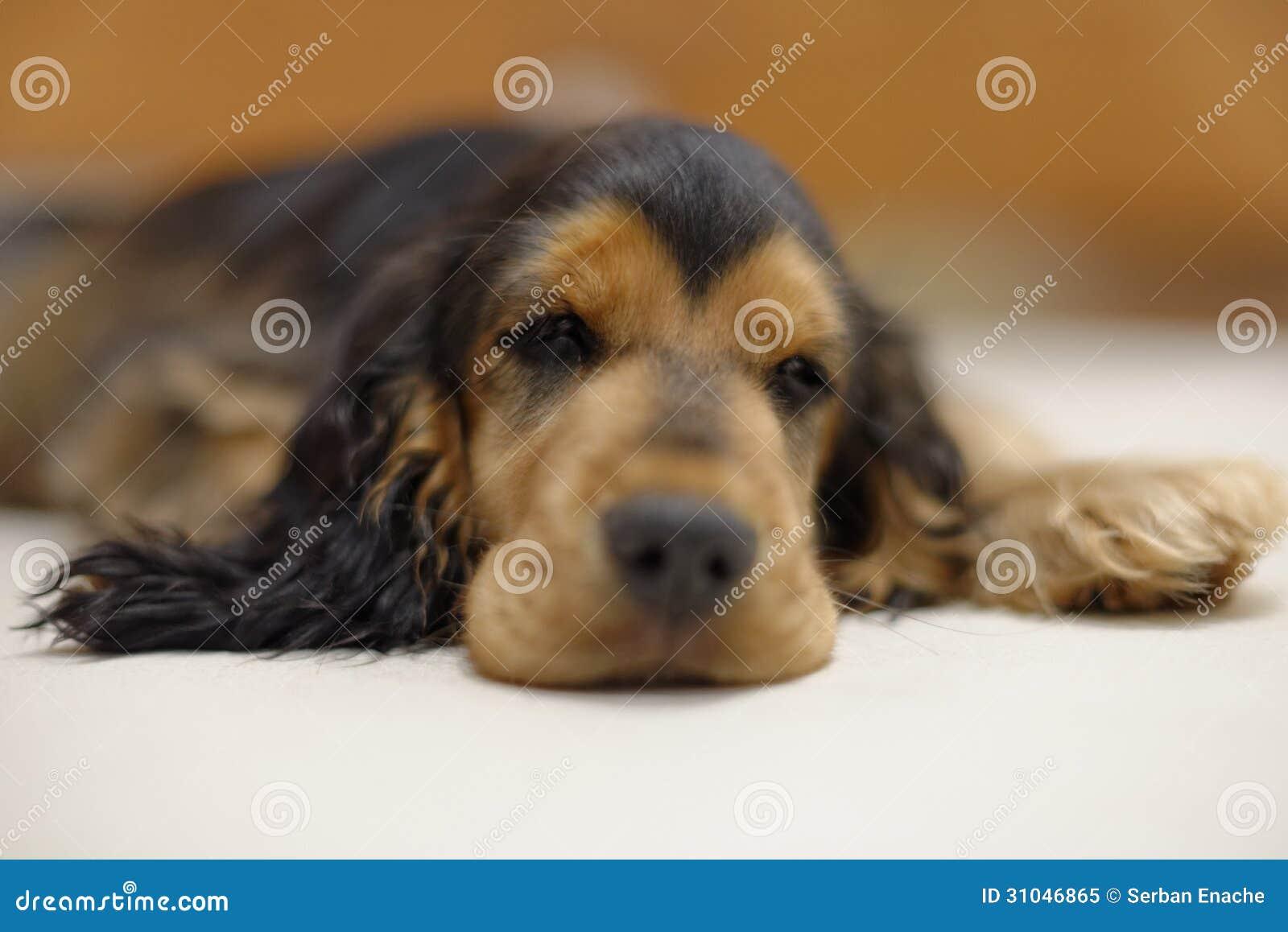 Cucciolo Di Sonno Cocker Spaniel Immagine Stock Immagine Di Resto