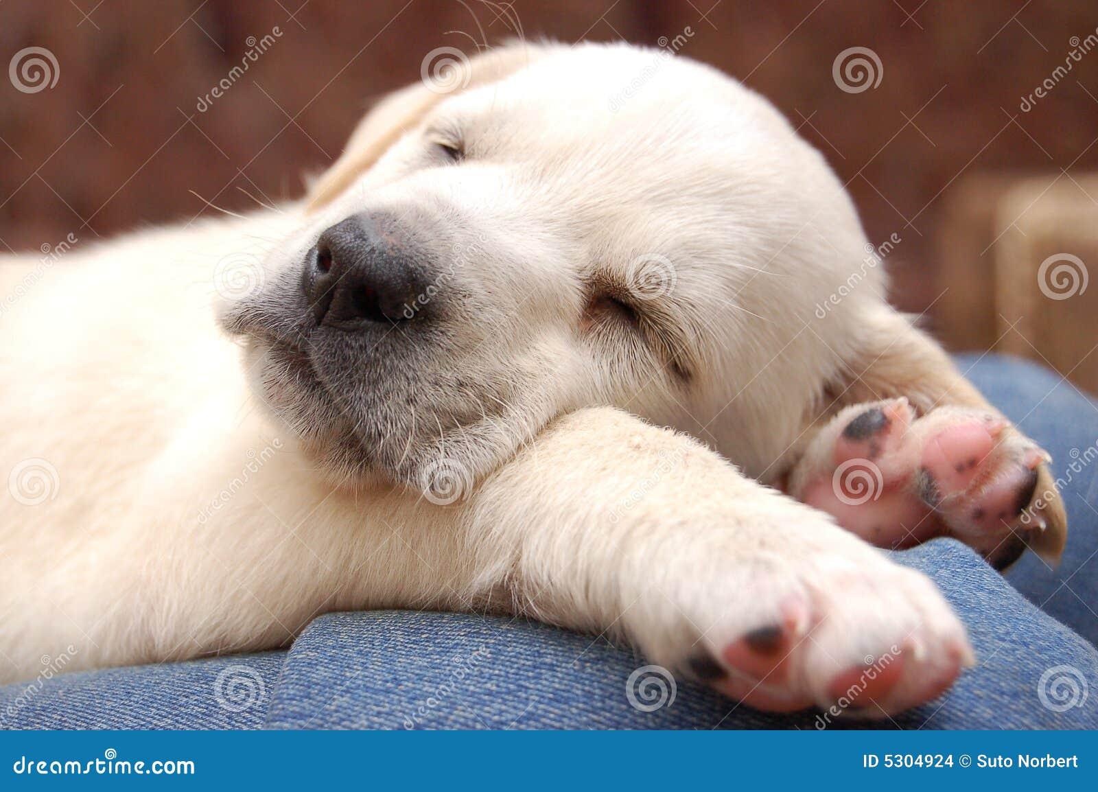Download Cucciolo di sonno Labrador fotografia stock. Immagine di taglio - 5304924