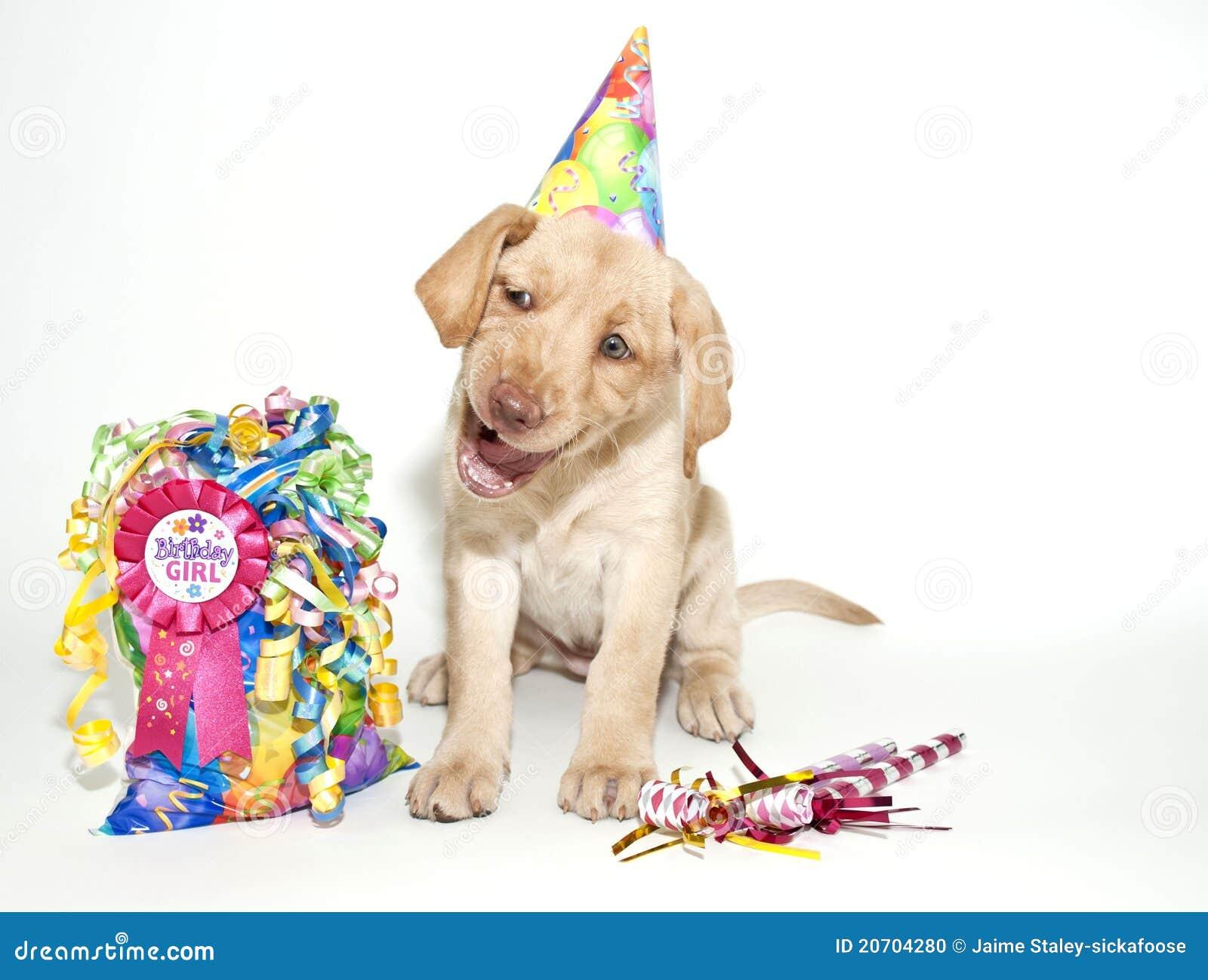 Cucciolo Divertente Del Laboratorio Di Compleanno Fotografia Stock