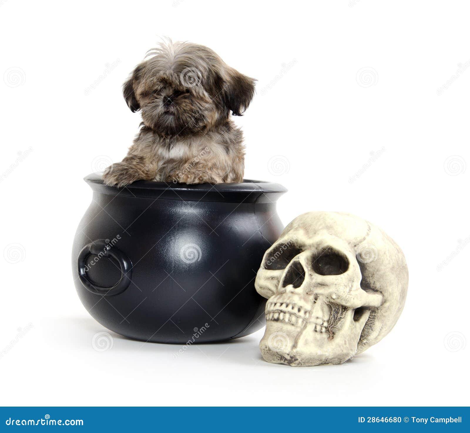 Cucciolo e Halloween di Shih Tzu