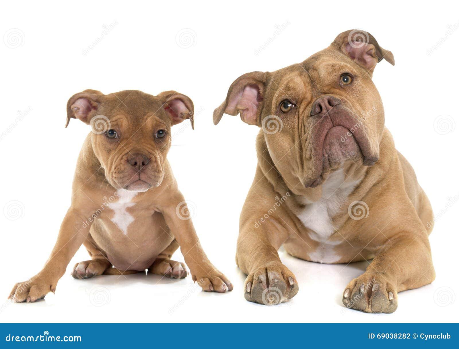 Cucciolo e vecchio bulldog inglese adulto fotografia stock for Bouledogue inglese