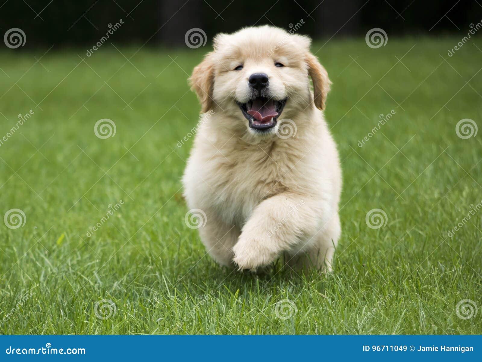 Cucciolo felice del documentalista dorato