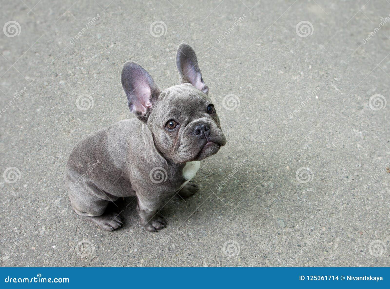 Cucciolo Grigio Di Un Bulldog Francese Su Un Fondo Grigio Piccolo