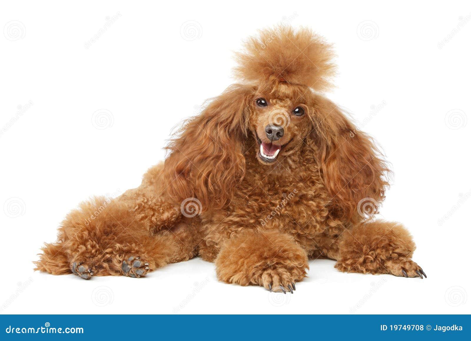 Cucciolo rosso del barboncino di giocattolo fotografie - Barboncino piccolo ...