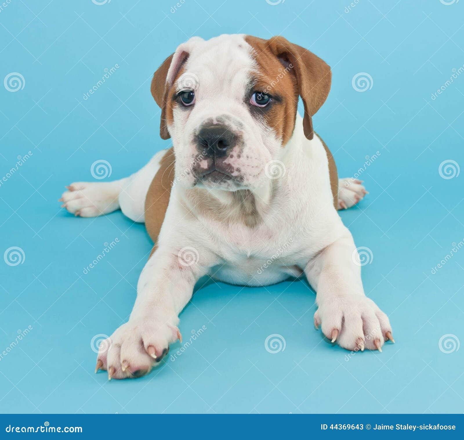 Cucciolo sciocco del bulldog