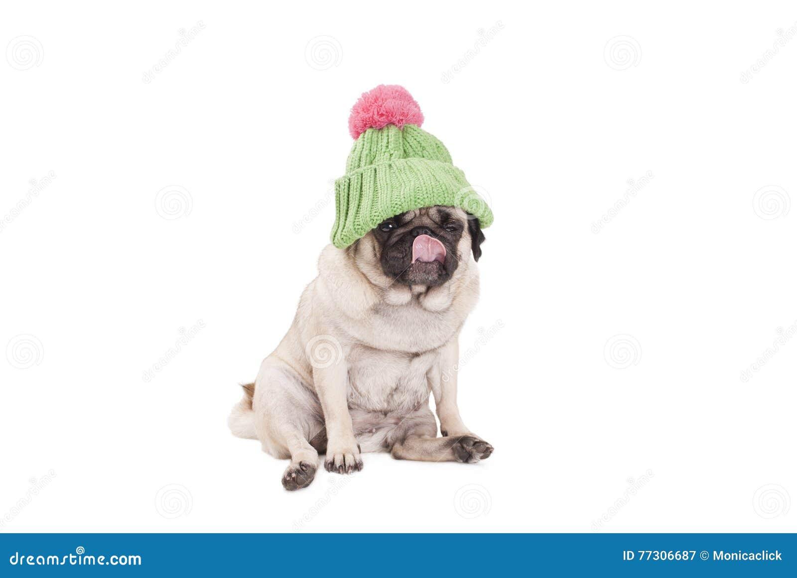 Cucciolo Sveglio Del Cane Del Carlino Che Si Siede E Che Lecca Naso