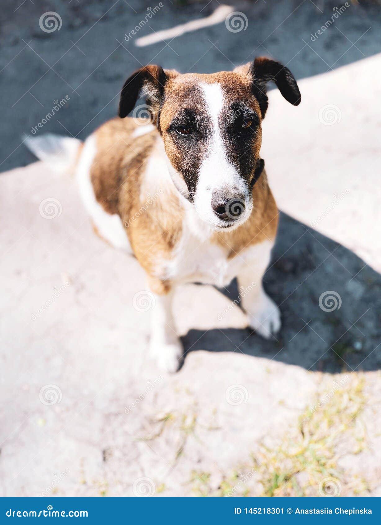 Cucciolo sveglio del cane del terrier di Russell della presa con il collare all aperto
