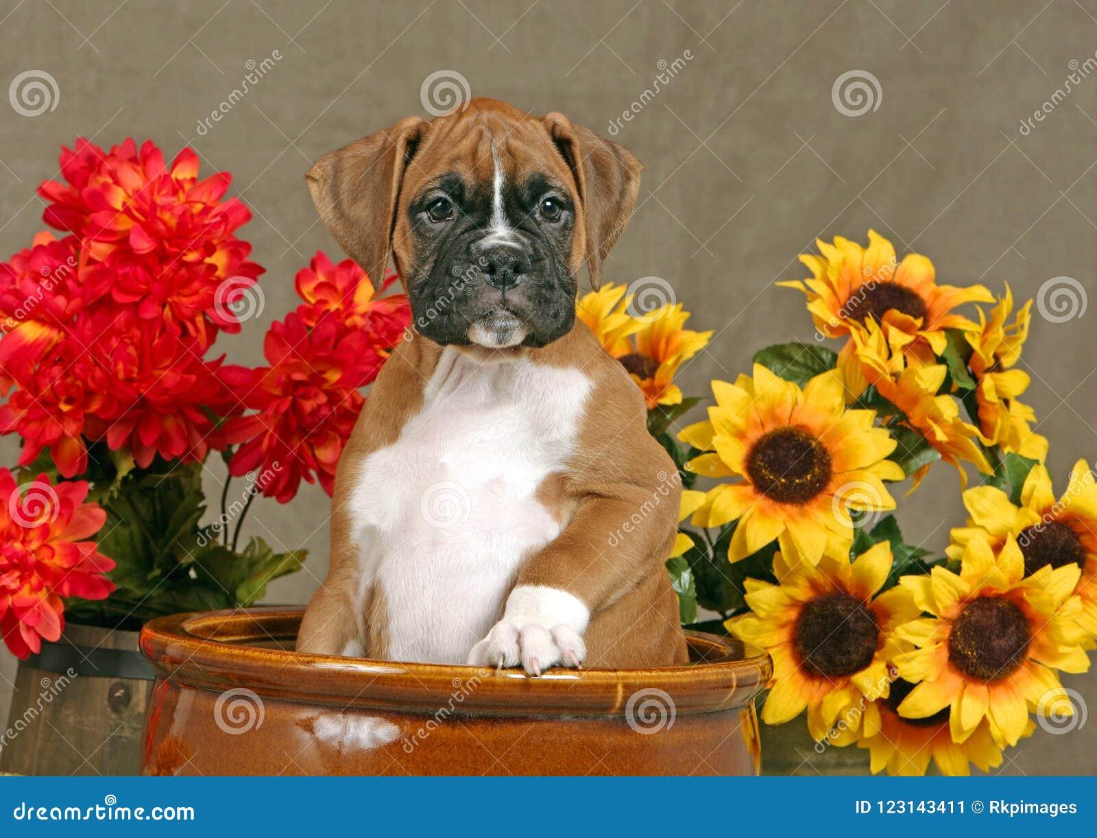 Cucciolo tedesco del fawn del pugile che si siede in grande vaso marrone della piantatrice, in mezzo dei fiori gialli e rossi, gu