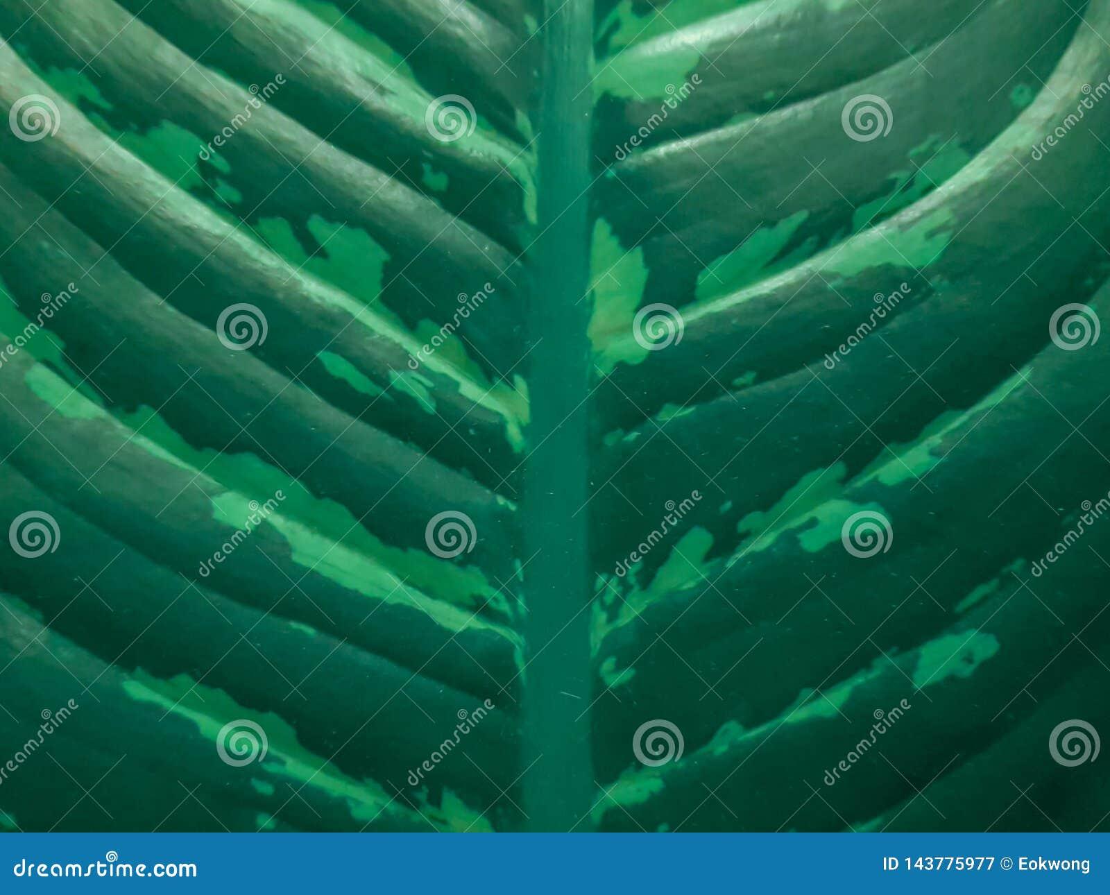 Cuchilla de hoja y venas verdes del houseplant del Dieffenbachia Opinión del primer del modelo de la hoja