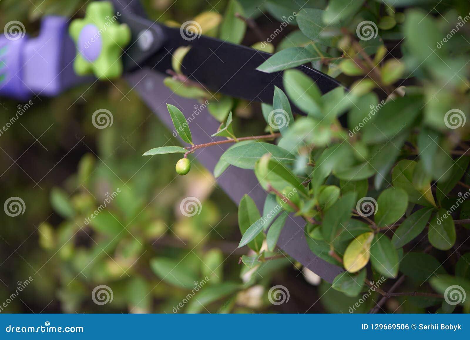 Cuchilla de las tijeras del jardín que cortan la pequeña baya