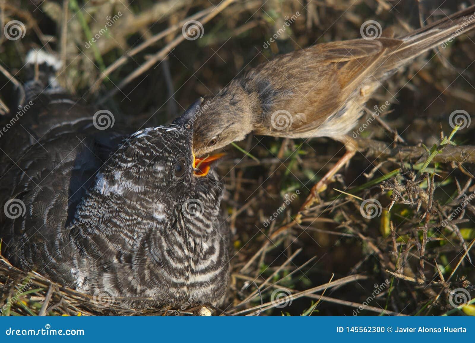 Cuco común - joven del canorus del Cuculus en la jerarquía - conspicillata de Sylvia - curruca con gafas