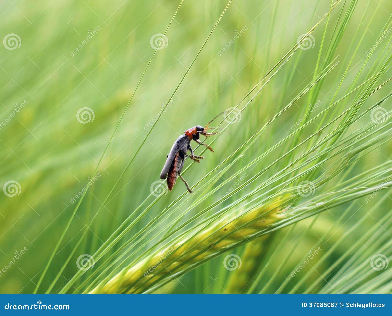 Download Cucujidae ściga w polu obraz stock. Obraz złożonej z dziki - 37085087