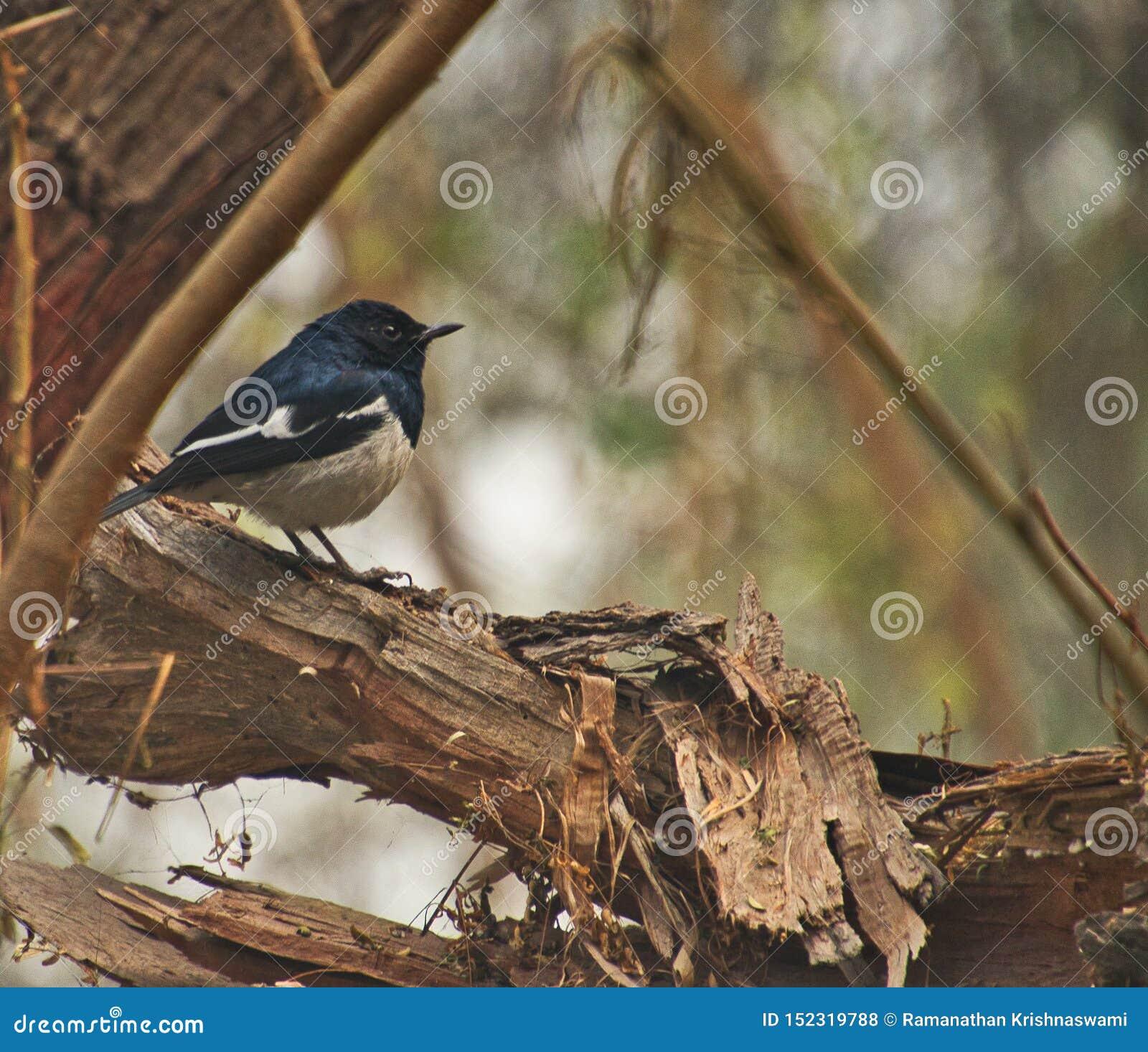 Cuculo al santuario di uccello di Sultanpur