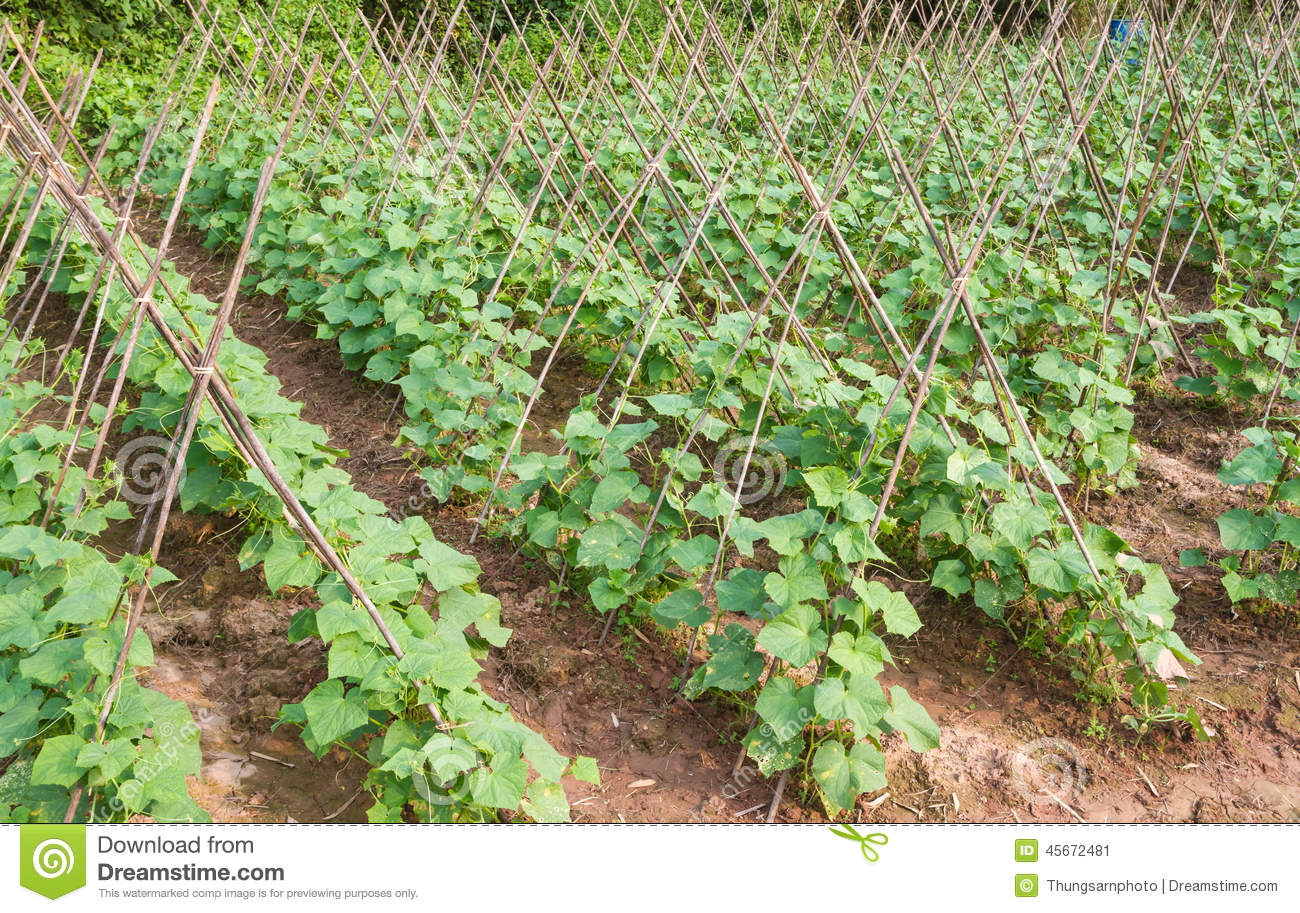 Cucumber Farm Stock Photo - Image: 45672481