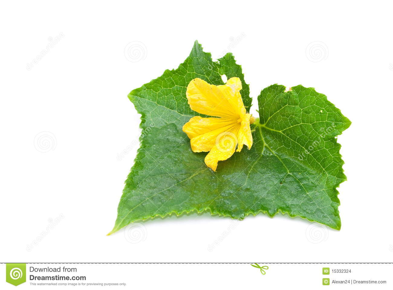 Cucumber leaf and flower stock photo. Image of plant - 15332324