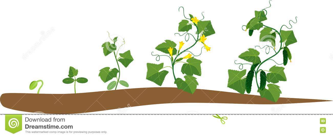 Cucumber Plant Stages