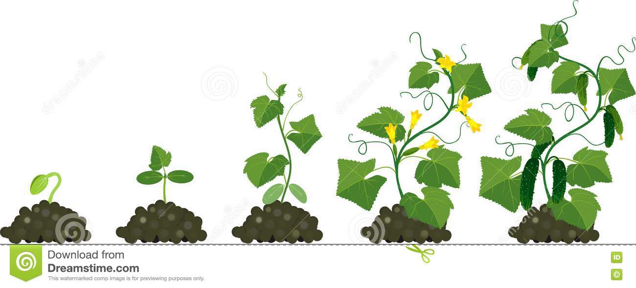 Cucumber Plant Growth Cycle Stock Vector - Image: 72907401