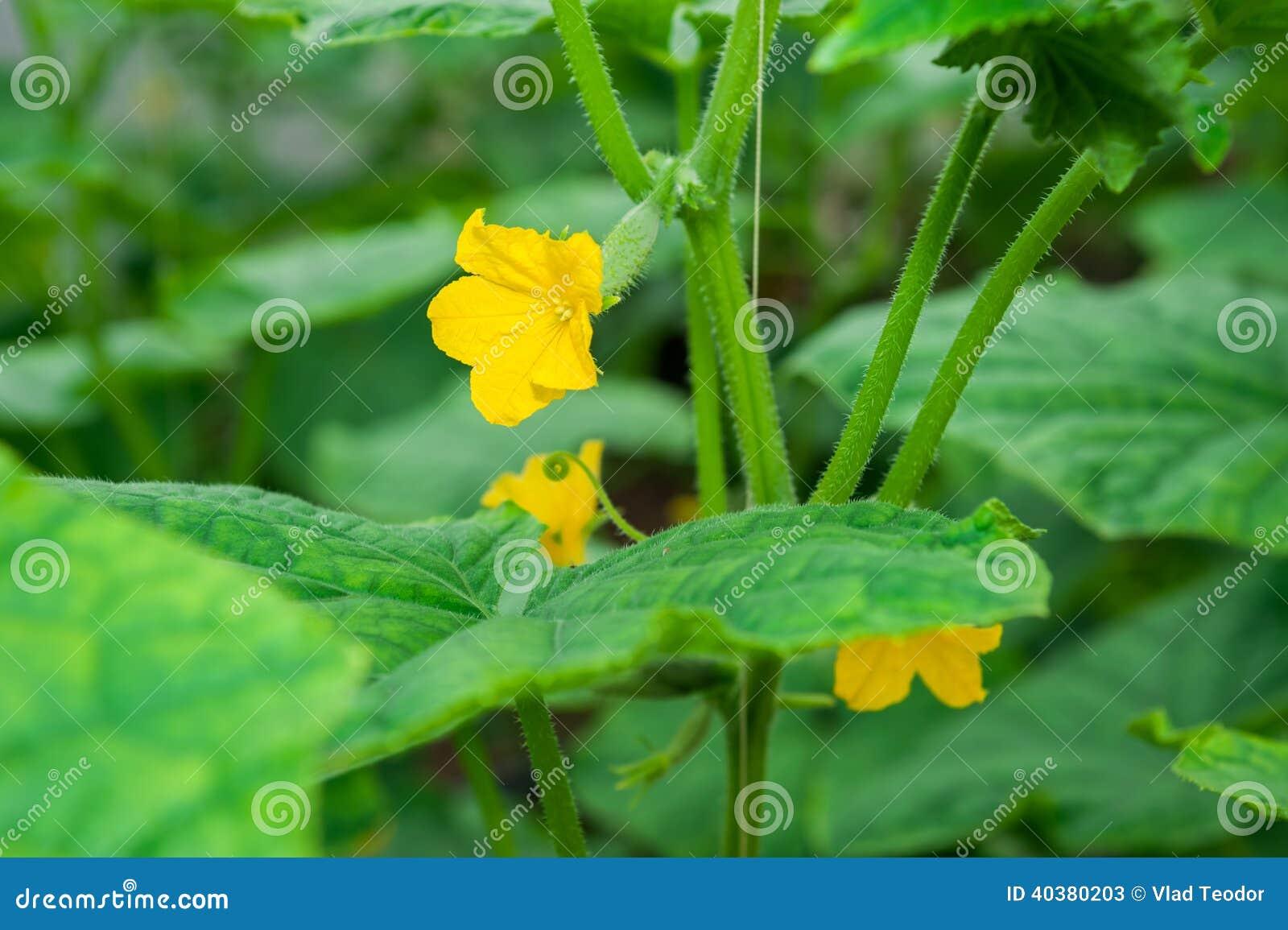 Cucumber Plant Yellow Flower Stock Image Image Of Background