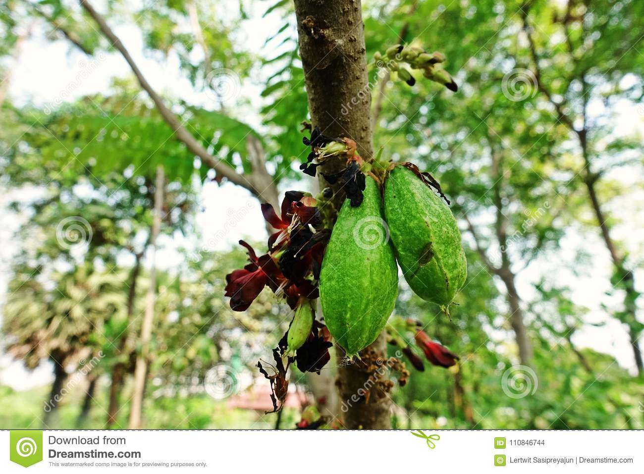 Cucumber Tree Or Tree Sorrel A Fruit Bearing Tree Stock Photo