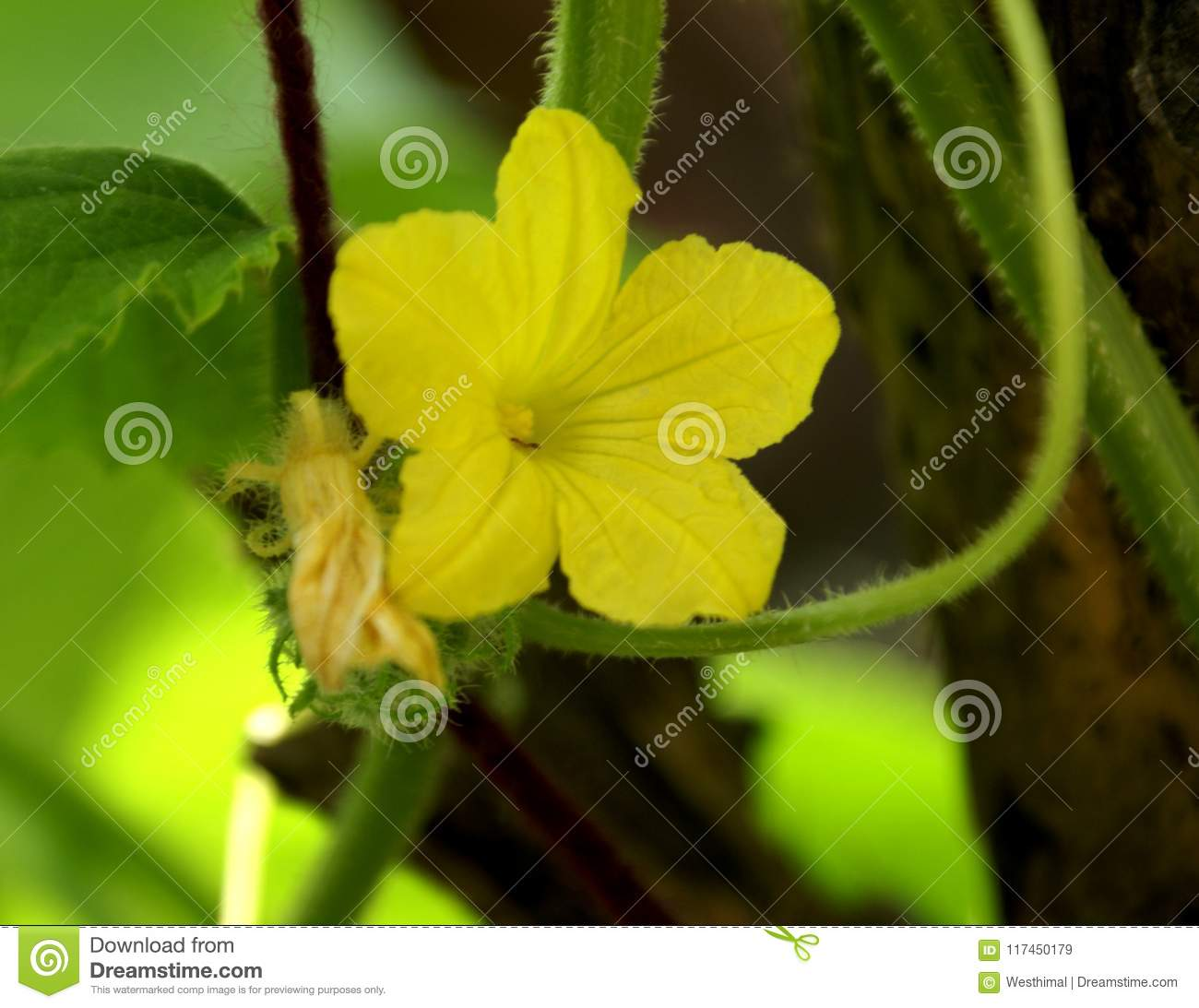 Cucumber Vine With Leaves And Flowers Cucumis Sativus Stock Image
